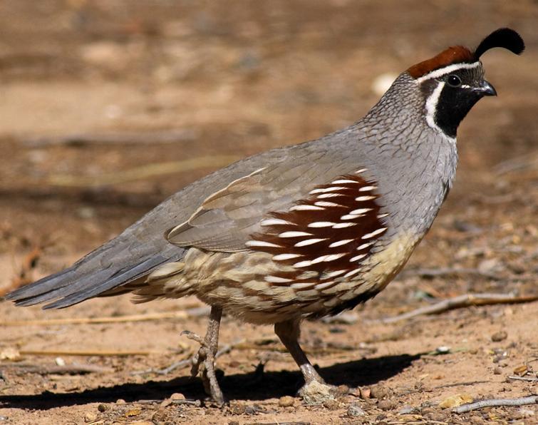 quail.